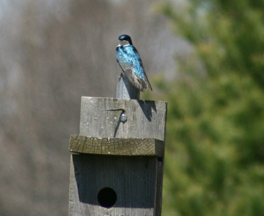A tree swallow perches on one of two dozen nesting boxes installed through ALUS at Fairnorth Farm, one of many different types of wildlife habitat structures maintained by ALUS Norfolk participants Kathryn and Michael Boothby.