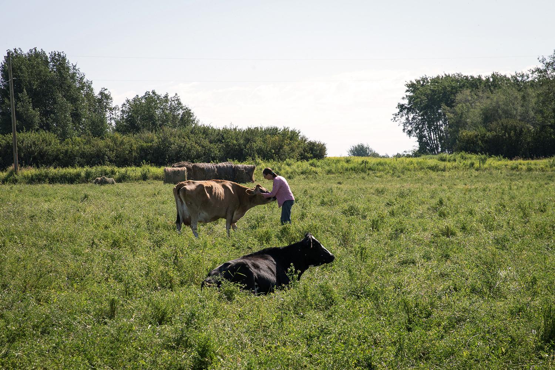 Un participant ALUS se rapproche de son troupeau.